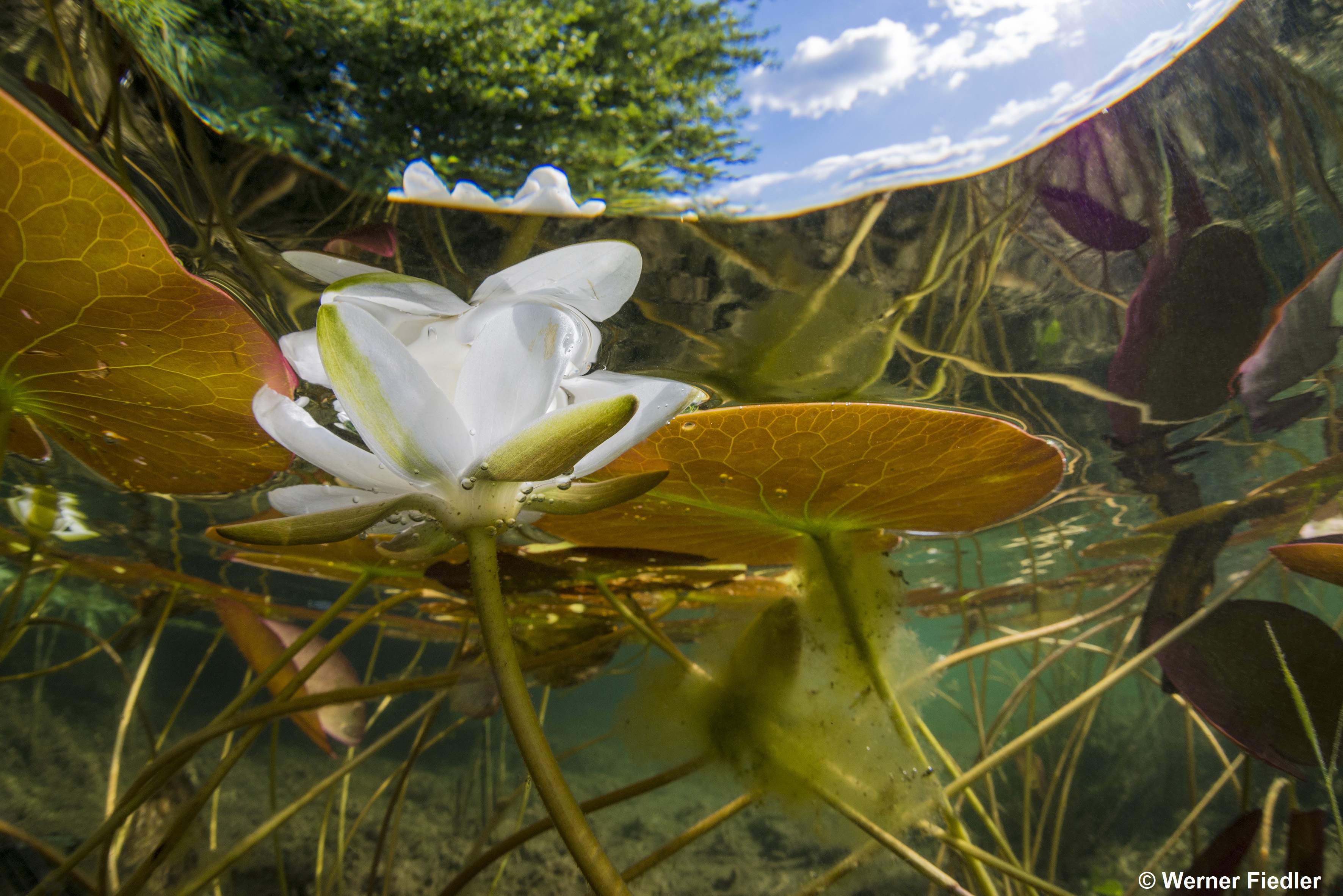 Nymphaea albaWeiße SeeroseBinnensee, Brandenburg, Deutschland